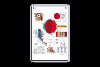 Anatomie - V022 anatomische wandplaat  menselijk oog  50 x 67 cm