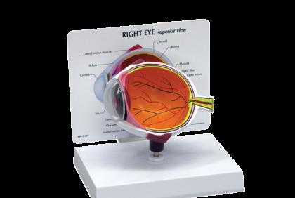 Anatomie - V029 anatomisch oogmodel  binnenoog  12,5 x 15 x 2,5 cm  inclusief infokaart
